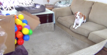 The Only Present This Dog Wanted For His Birthday Was A Ball Pit